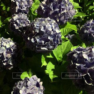 花,夜,雨,植物,あじさい,紫陽花,梅雨,はな,アジサイ,ハナ