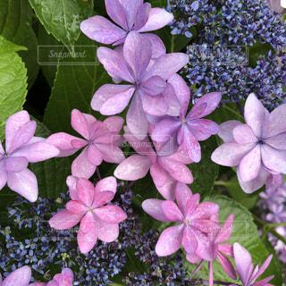 花,雨,傘,植物,あじさい,葉っぱ,ふわふわ,紫陽花,梅雨,はな,ふんわり,やさしい,アジサイ,暖かい色