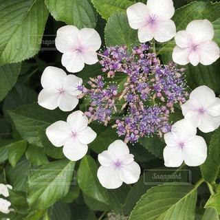 花,雨,傘,植物,あじさい,葉っぱ,ふわふわ,紫陽花,梅雨,はな,ふんわり,ほんわか,やさしい,アジサイ,ハナ,暖かい色