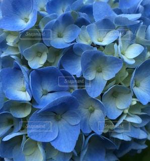 花,雨,傘,庭,屋外,あじさい,青,ふわふわ,紫陽花,日光浴,梅雨,アジサイ,ガーデン,キレイ,綺麗な花