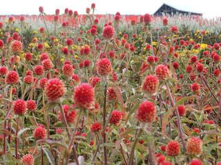 フィールドに赤い花 - No.880902