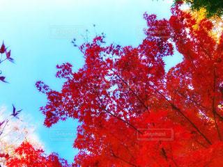 赤い葉の木の写真・画像素材[882829]