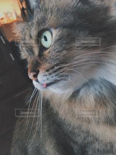 猫,動物,屋内,ペット,人物,目,見つめる,ベロ,舌,ネコ