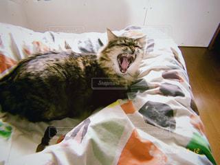 猫,動物,ペット,寝る,人物,あくび,毛布,寝具,妖怪,ネコ,ベッド