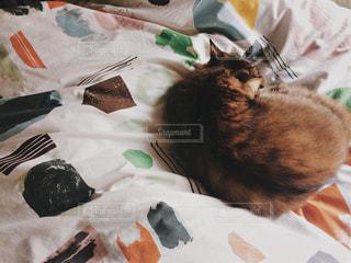 猫,動物,屋内,景色,ふわふわ,ペット,布,寝る,人物,毛布,お昼寝,寝具,ネコ,ベッド,毛玉