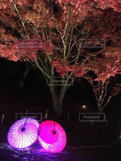 和風紅葉のライトアップの写真・画像素材[881241]