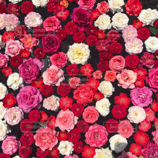 薔薇の写真・画像素材[884010]