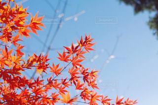 紅葉の写真・画像素材[886521]