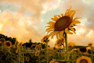 夕焼けを見つめる向日葵の写真・画像素材[1377269]