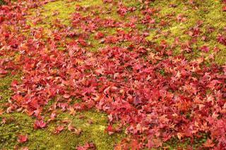 苔の上に広がるもみじの写真・画像素材[1630764]