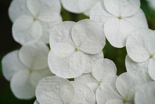 白の紫陽花の写真・画像素材[908961]