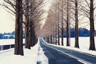 雪のメタセコイア - No.908975