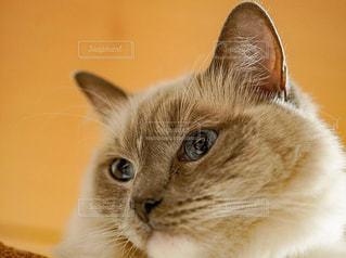 高貴な猫の写真・画像素材[973297]
