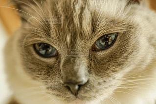 瞳の色の綺麗な猫の写真・画像素材[973301]