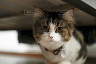 ベッドに隠れる猫の写真・画像素材[973337]
