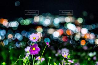 夜景,コスモス,玉ボケ,和歌山