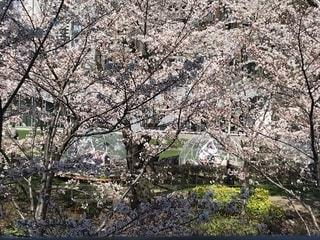 桜,東京,サクラ,お花見,六本木,ミッドタウン,さくら
