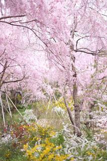原谷苑のしだれ桜の写真・画像素材[1122943]