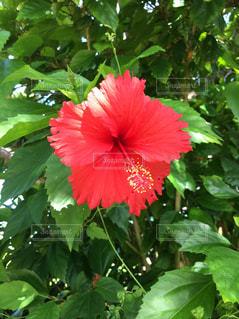 花,南国,ハイビスカス,沖縄,旅行