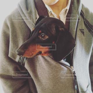 カメラを見て、茶色と黒犬の写真・画像素材[889704]