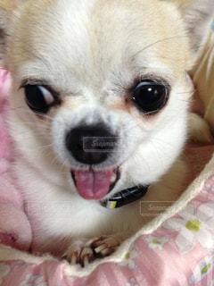ベッドの上に座っている小さな茶色と白犬の写真・画像素材[926736]