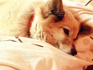 近くにベッドの上で横になっている犬のアップの写真・画像素材[1196142]