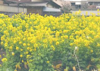 花,春,花畑,屋外,黄色,景色,イエロー