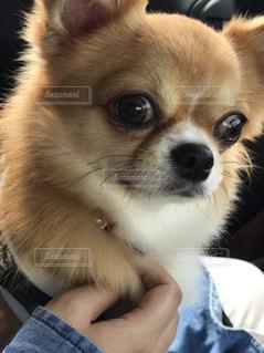 カメラを見て、小さな茶色と白犬の写真・画像素材[888628]