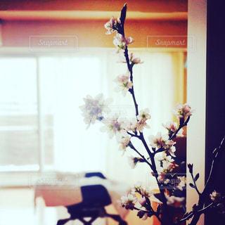 桜,お花見,赤ちゃん,ベビー,ライフスタイル,桜の枝