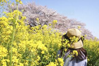 桜と菜の花のカラフルな春の写真・画像素材[1833921]