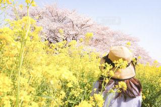 桜と菜の花のハーモニーの写真・画像素材[1833974]