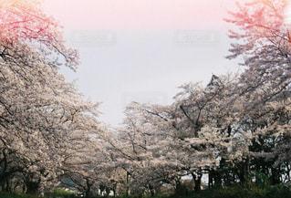 sakuraの写真・画像素材[1147178]