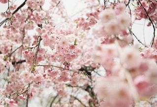 sakuraの写真・画像素材[1147179]