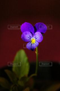 屋内,鮮やか,草木,写真 スナップマート,snapmart  写真,ハート すみれ スミレ 花 はな フラワー,パープル 紫