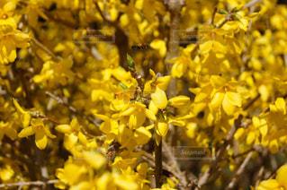 黄色の花の写真・画像素材[1825851]