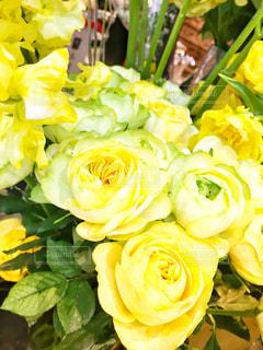鮮やかな黄色バラの写真・画像素材[1829902]