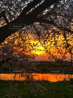 桜の中から夕陽が輝くの写真・画像素材[1998234]