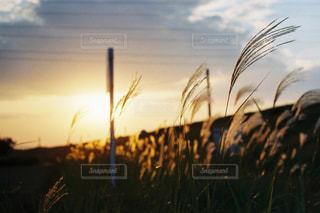 夕暮れ空に揺れるすすきと私の心の写真・画像素材[962651]