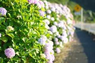 風景,空,花,木,屋外,青,道路,標識,光,紫陽花,梅雨