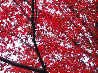 京都の紅葉 - No.890363