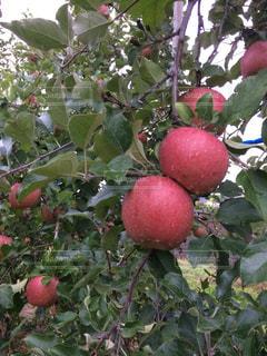 りんご園の写真・画像素材[898937]