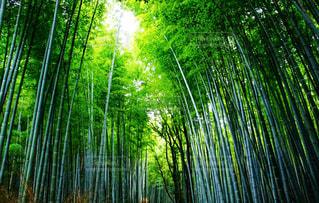 生い茂る竹の写真・画像素材[907016]
