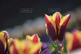 花,チューリップ,山口県,下関市,火の山トルコチューリップ園