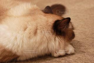 寝ている猫ちゃんの写真・画像素材[892714]