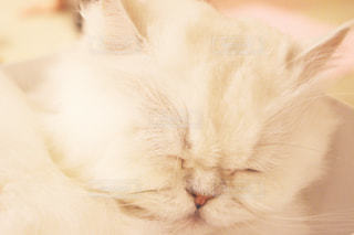 目を閉じている猫の写真・画像素材[909488]