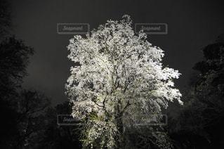 夜桜の写真・画像素材[909142]