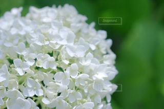 白いアジサイ アナベルの写真・画像素材[916367]