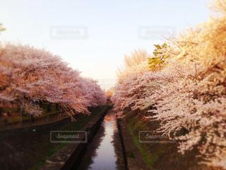 花,春,桜,ピンク,綺麗,花見,満開,川沿い