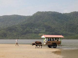 沖縄,旅行,水牛,由布島