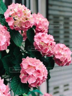 雨,屋外,鮮やか,紫陽花,オシャレ,キラキラ,初夏,梅雨